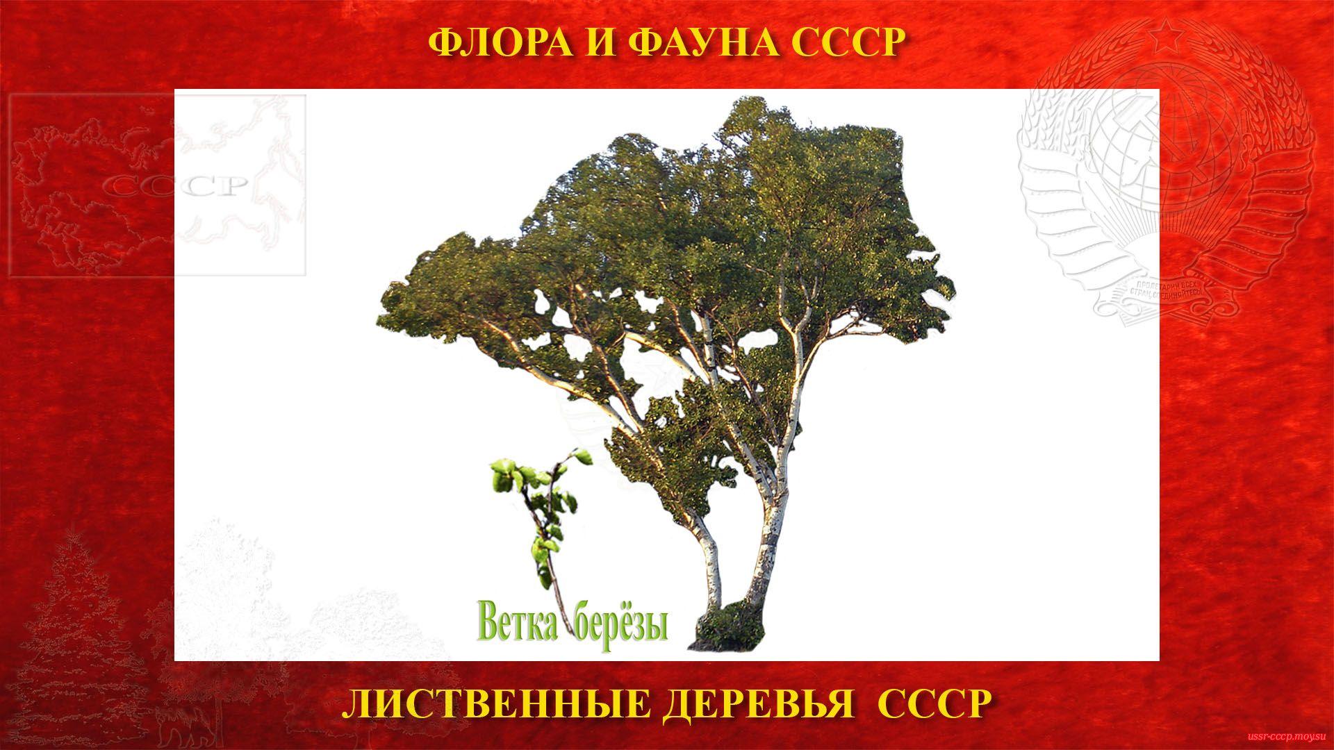 Карельская берёза — Лиственное дерево (повествование)