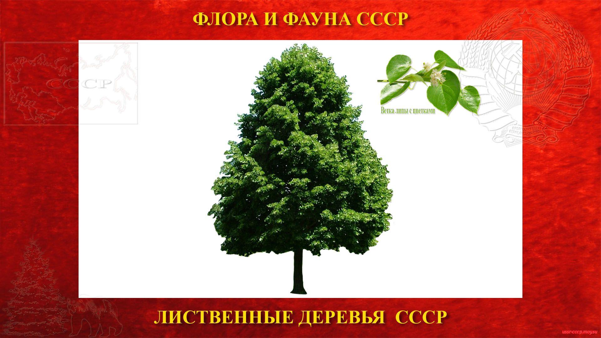 Липа — Лиственное дерево